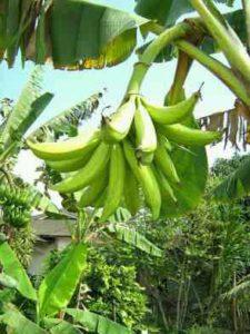 bibit-pisang-tanduk